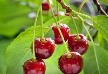 National Cherry Day 2021: Quotes, Quiz, Images
